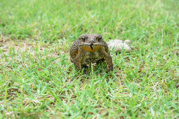 The toad are posing on grass on a nature background.