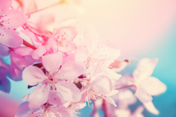 White cherry flowers blossom on tree. Nature beautiful floral pastel background