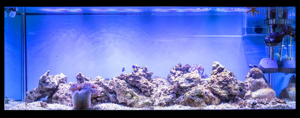 Large panoramic aquarium with tropical reef fish Azure Damselfish (Chrysiptera hemicyanea) and blue tang (Paracanthurus hepatus)