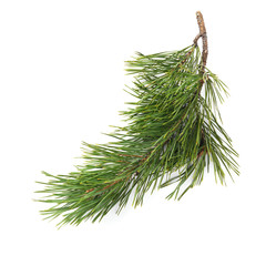 Christmas tree branches  isolated on white background.