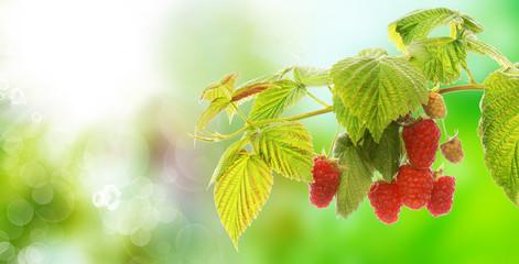 garden raspberries in nature