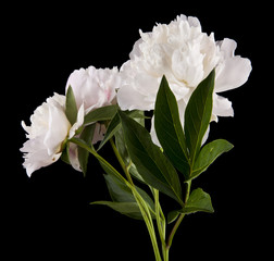 peonies isolated on a black background