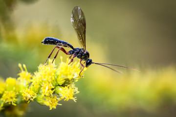 Wespe, Hornisse, Insekt in einer gelben Blütenpracht