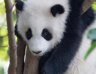 Wall Mural - Portrait of panda baby