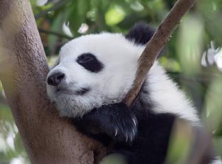 Wall Mural - Panda giant baby sleeping on the tree