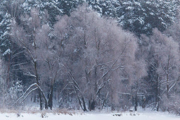 Snowy trees in the forest in winter