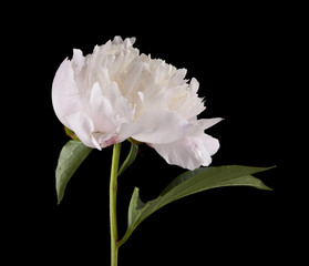 Peony flowers isolated on a black background. As an element of packaging design.