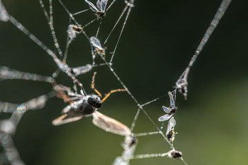 Mosquitoes caught in spider web