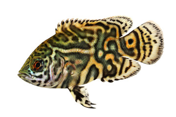 Tiger Oscar Cichlid aquarium fish Astronotus ocellatus
