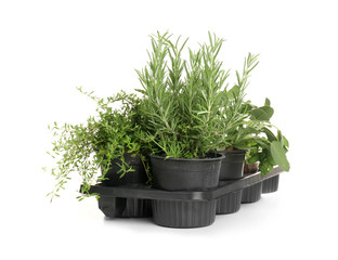 Pots with fresh aromatic herbs on white background