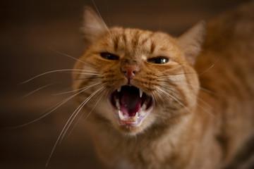 predatory cat