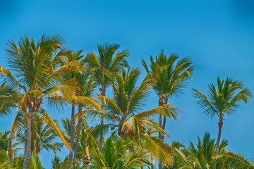 Beautiful tropical palm trees against a bright blue sky.
