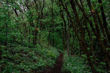 Hiking Path Cutting Through a Scrub Oak Forest in Utah