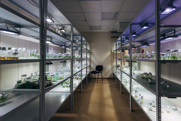 Laboratory of Micropropagation technology in vitro. Flasks with microplants with nutrient medium on shelves
