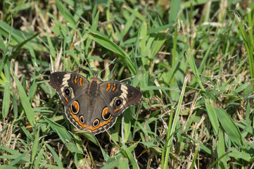 A pretty common buckeye butterfly sits on the green grass with bokeh effect.