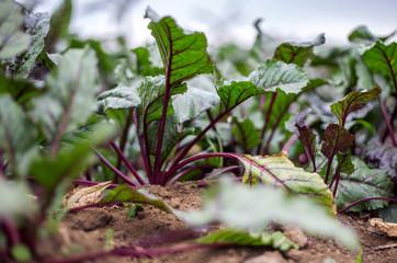 Beetroot plants grow on a farm in Rubavu district, Western province