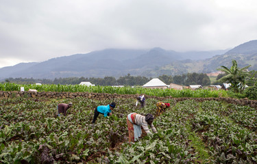Assoumpata Uwamariya works on a beetroot farm in Rubavu district, Western province