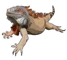 Iguana in vector