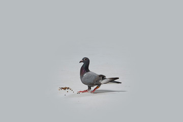 pigeon eating on a white floor