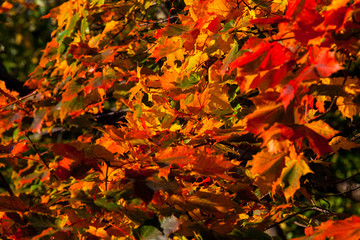 Beautiful autumn maple with red, orange, yellow and green leaves – a detailed fragment of a tree on a blurred background on a Sunny day, the nature of Russia
