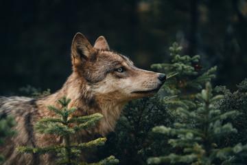 Grey Wolf in British Columbia