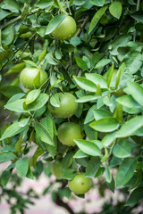 Unripe and Green Oranges with Tree