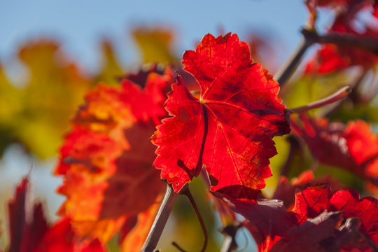 Close-up red grapes leaves in an autumn vineyards of Tuscany region on the natural blurred background, Italy