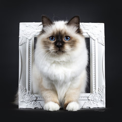 Adorable excellent seal point Sacred Birman cat kitten standing in white picture / photo frame, looking beside camera isolated on black background