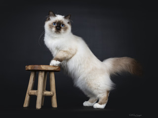 Adorable excellent seal point Sacred Birman cat kitten standing side ways with front paws on little brown stool, looking beside camera isolated on black background