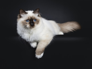 Adorable excellent seal point Sacred Birman cat kitten laying down side ways, looking beside camera isolated on black background with paws hanging down from edge