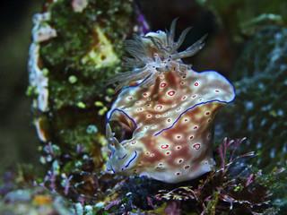 Three-lobed t-bar nudibranch (Ceratosoma trilobatum)