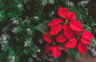Christmas Poinsettia with firtree branches on the rustic background. Toned image.