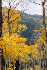 Details of Aspen and Pine Forests in the Mountains with Yellow Leaves in the Fall in Utah