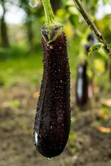 Growing the ripe purple eggplant  in vegetable garden