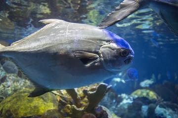 Big gray fish