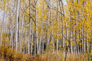 Grove Details of Aspen Trees with Yellow Leaves in the Fall in Utah