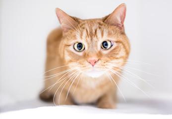 A cross-eyed domestic shorthair orange tabby cat