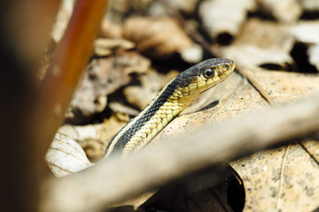 High angle view of garter snake on leaves during sunny day