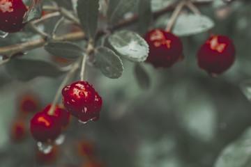 Close-up of juicy wet cherries growing on branch