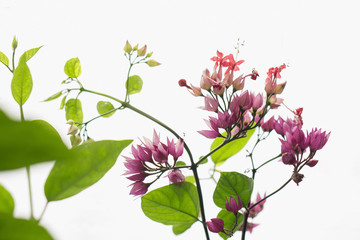 Close-up of bougainvillea blooming on plant stems against white background