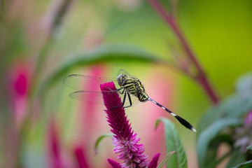 A dragonfly is an insect belonging to the order Odonata, infraorder Anisoptera. Adult dragonflies are characterized by large, multifaceted eyes, two pairs of strong, transparent wings,