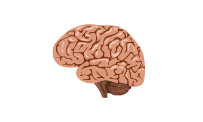 Brain in front on white background