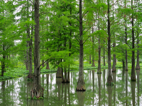 Metasequoia forest in the lake