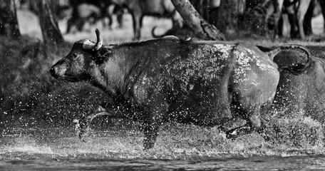 African buffalo in the Lake Nakuru National Park, Kenya