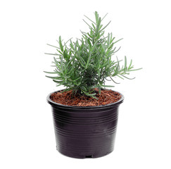 rosemary growing in the black pot isolated on white background