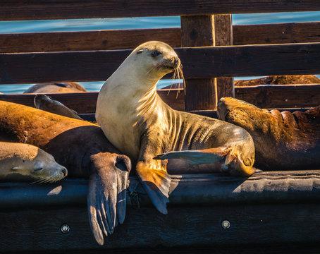 California sea lions resting on a dock in Avila beach california.