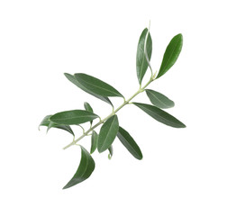 Twig with fresh green olive leaves on white background