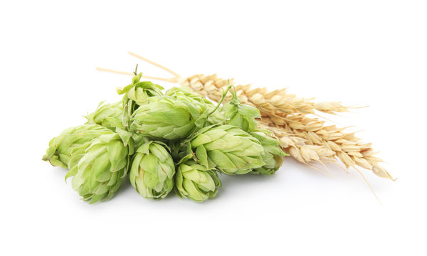 Fresh green hops and wheat spikes on white background. Beer production