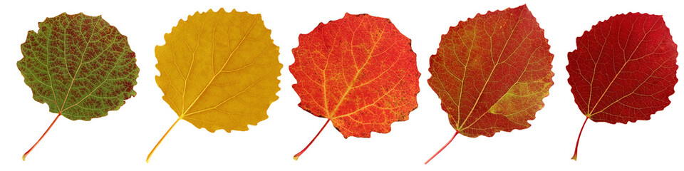 Autumn aspen leaves isolated on white background.