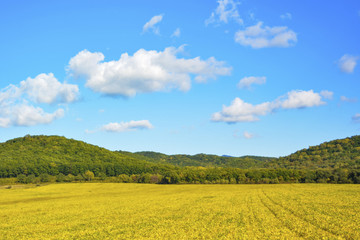Landscape minimalism. Bright yellow field, blue sky with white clouds and green hills on the horizon. Beginning of autumn.